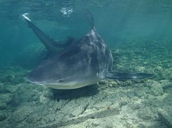 Haie Seychellen-tauchen, bull shark Stierhai Carcharhinus leucas