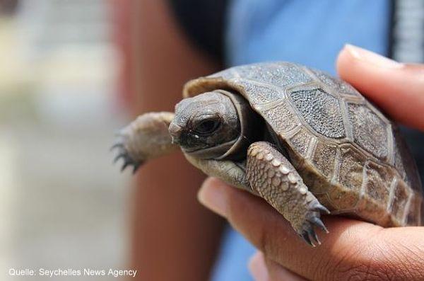 Baby Riesenschildkröte Seychellen
