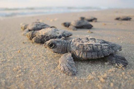 Beste Reisezeit für Naturliebhaber um Schildkröten schlüpfen zu sehen.
